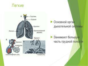 Легкие Основной орган дыхательной системы Занимают большую часть грудной поло