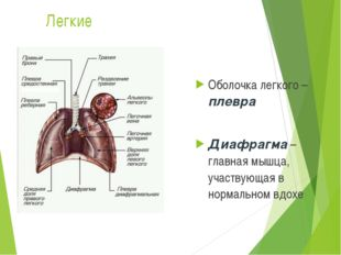 Легкие Оболочка легкого – плевра Диафрагма – главная мышца, участвующая в нор