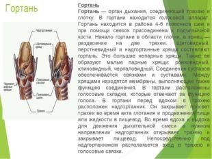 Гортань Гортань Гортань— орган дыхания, соединяющий трахею и глотку. В горта