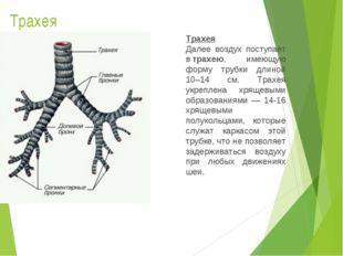 Трахея Трахея Далее воздух поступает втрахею, имеющую форму трубки длиной 10