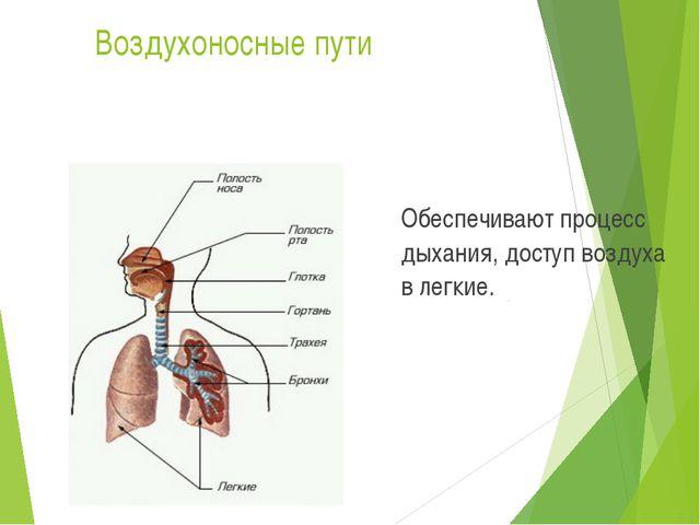 Воздухоносные пути Обеспечивают процесс дыхания, доступ воздуха в легкие.