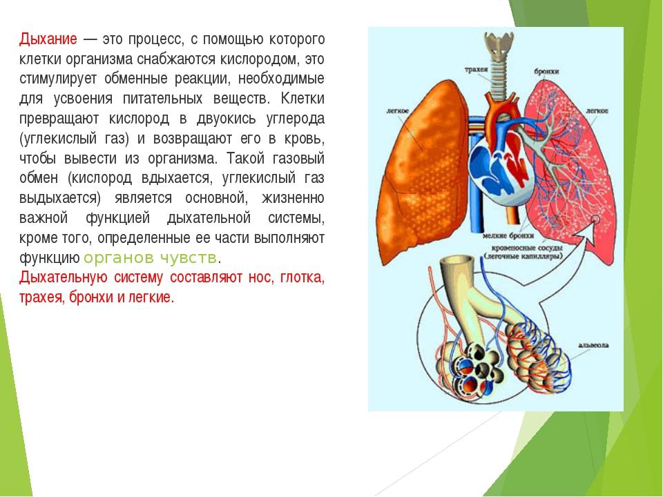 Дыхание — это процесс, с помощью которого клетки организма снабжаются кислоро...
