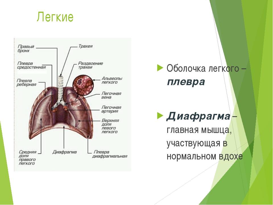 Легкие Оболочка легкого – плевра Диафрагма – главная мышца, участвующая в нор...