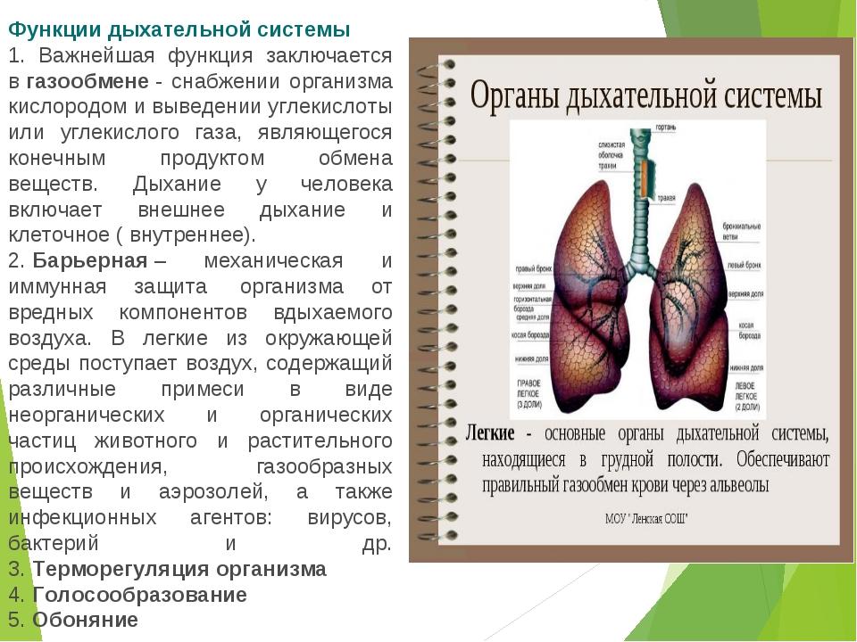 Функции дыхательной системы 1. Важнейшая функция заключается вгазообмене- с...