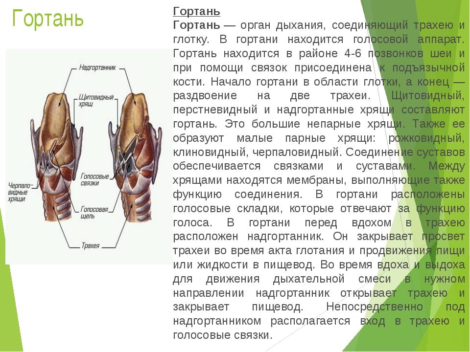 Гортань Гортань Гортань— орган дыхания, соединяющий трахею и глотку. В горта...