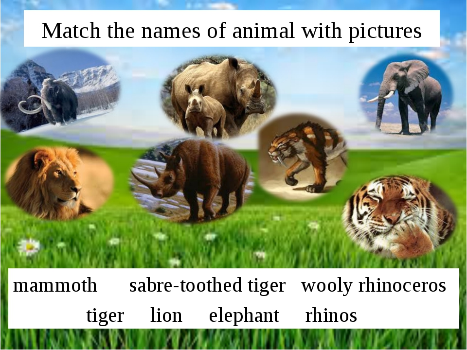 Match the names of animal with pictures mammoth sabre-toothed tiger wooly rhi...