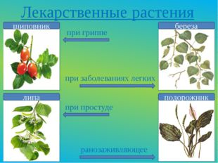 Лекарственные растения шиповник липа береза подорожник при гриппе при заболев