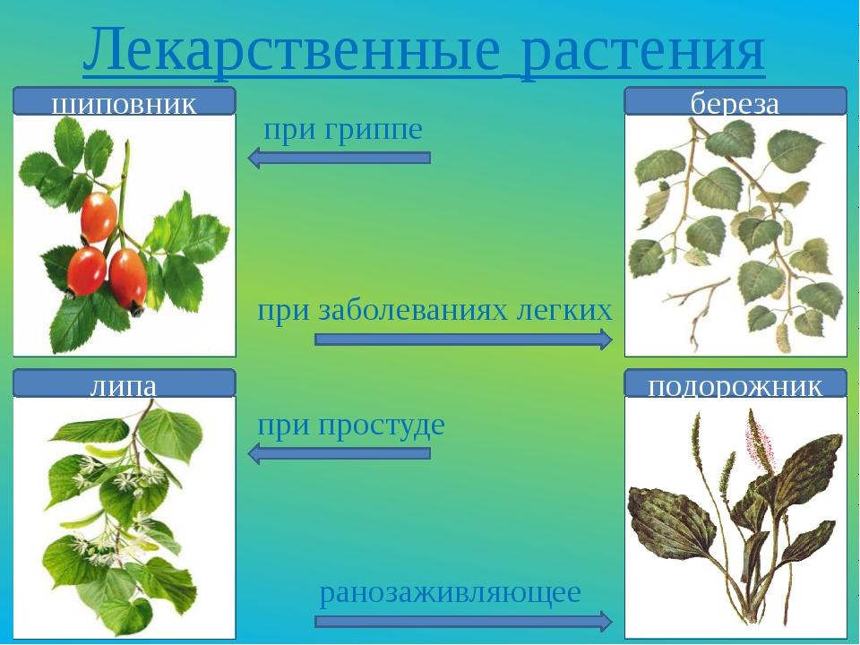 Лекарственные растения шиповник липа береза подорожник при гриппе при заболев...