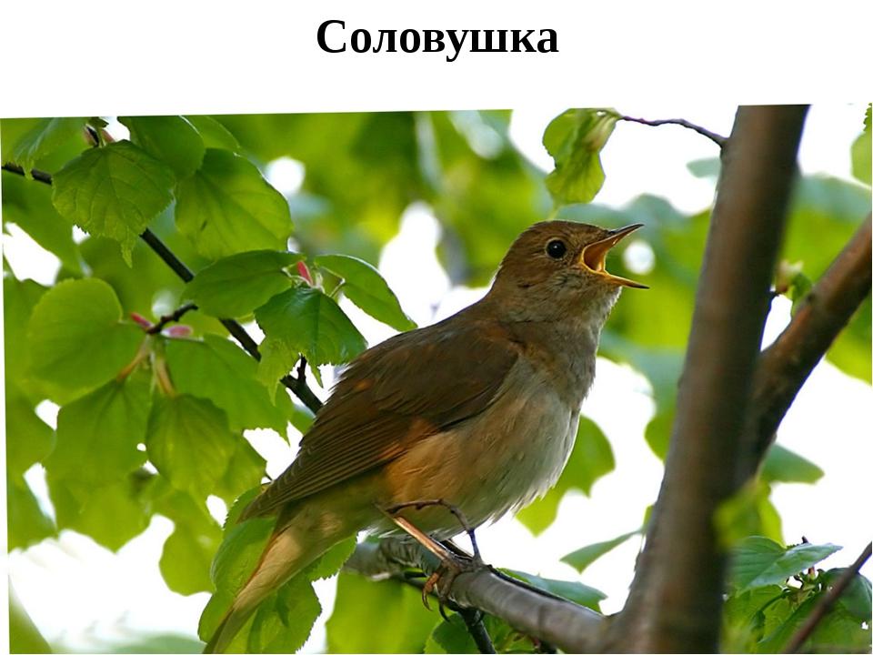Соловушка