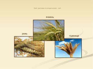 Хлеб - растения, из которых делают хлеб рожь пшеница ячмень ячмень