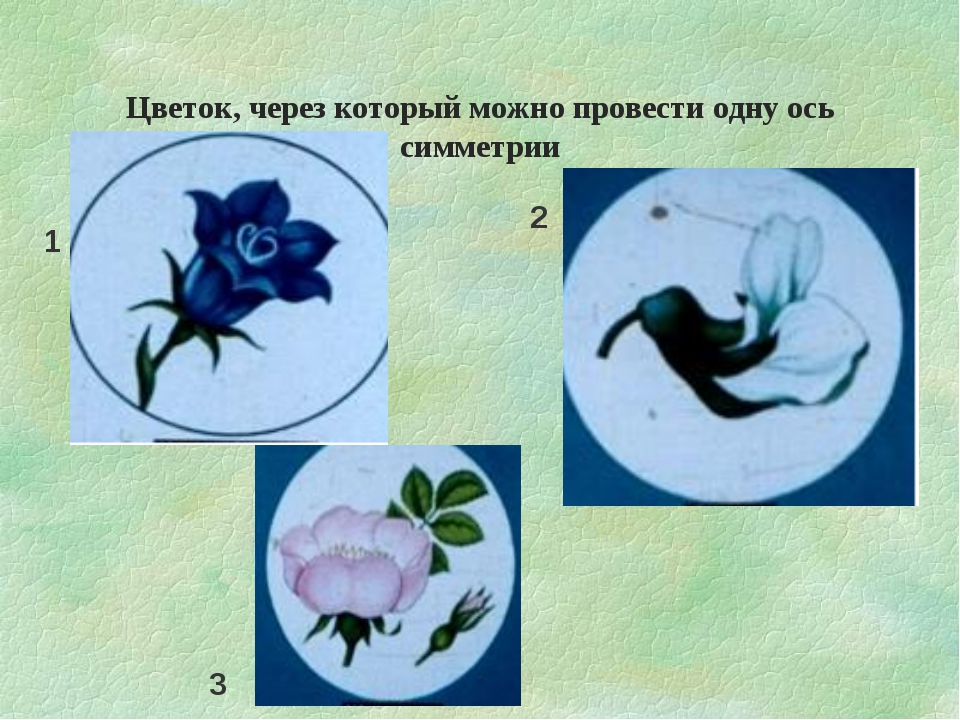 Цветок, через который можно провести одну ось симметрии 1 2 3