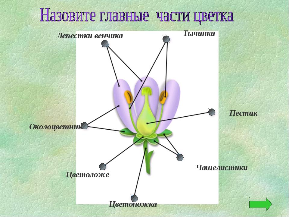 Лепестки венчика Тычинки Пестик Околоцветник Цветоложе Чашелистики Цветоножка