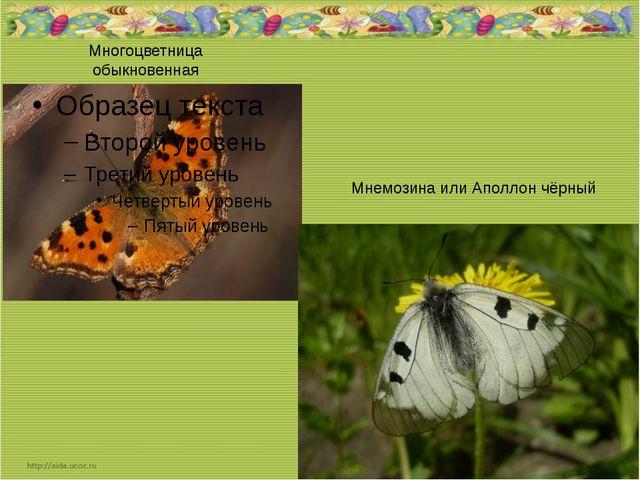 Многоцветница обыкновенная Мнемозина или Аполлон чёрный