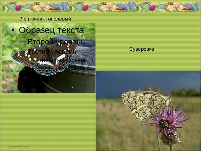 Ленточник тополёвый Суворовка
