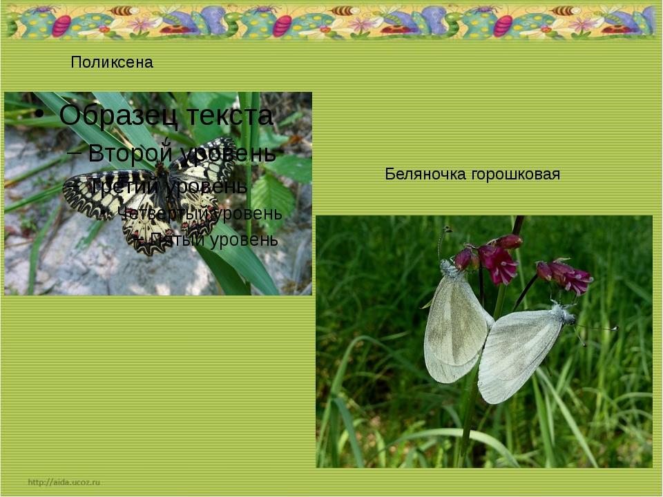 Поликсена Беляночка горошковая