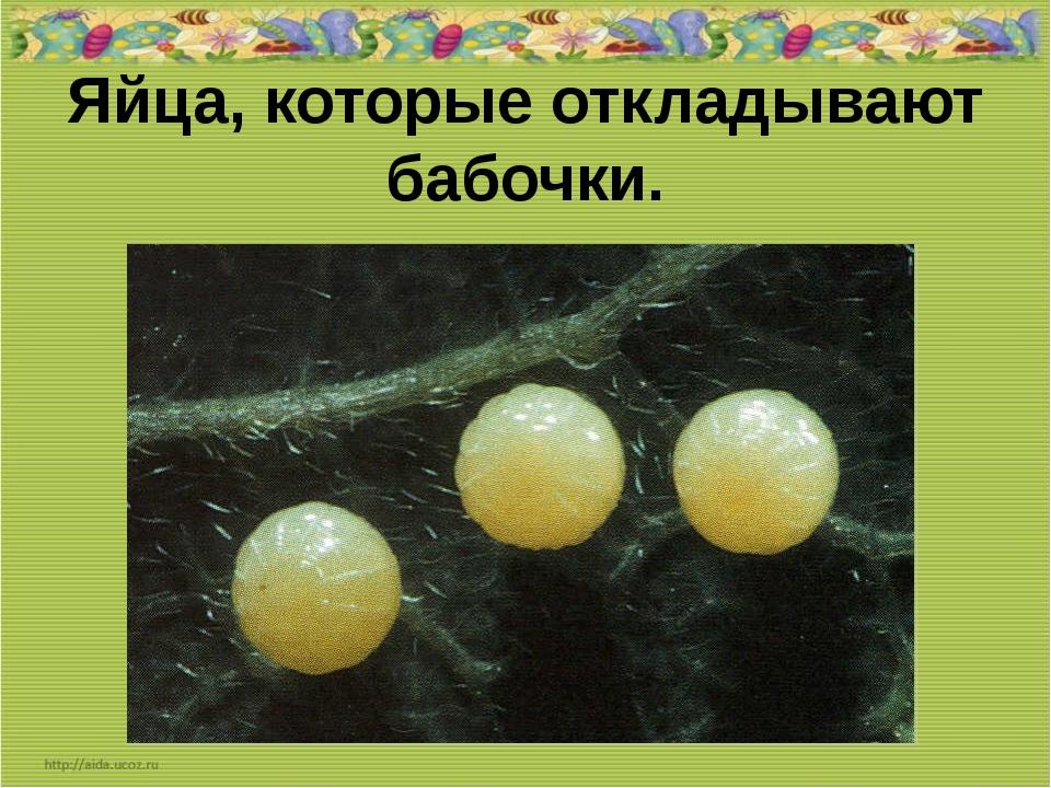 Яйца, которые откладывают бабочки.