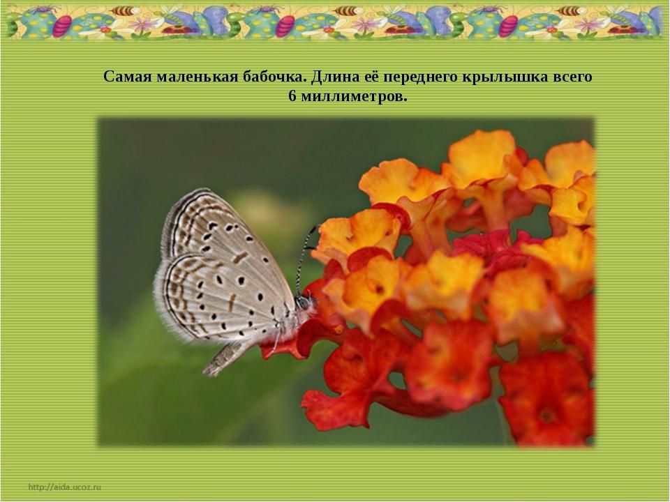Самая маленькая бабочка. Длина её переднего крылышка всего 6 миллиметров.