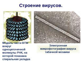 Строение вирусов. Модель части ВТМ вокруг одноцепочечной молекулы РНК, на кот