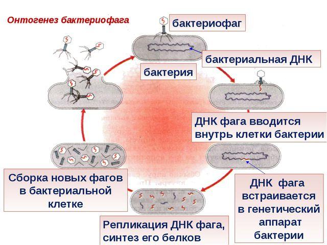 бактериофаг бактерия бактериальная ДНК ДНК фага вводится внутрь клетки бактер...