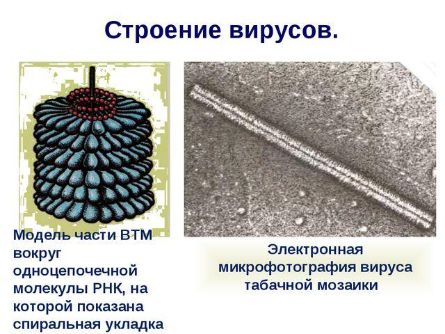 Строение вирусов. Модель части ВТМ вокруг одноцепочечной молекулы РНК, на кот...