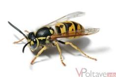 http://vpoltave.info/cache/660x440_85_site214_13_20120502153138_European-wasp-1.jpg