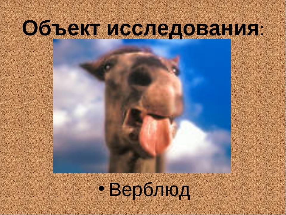 Объект исследования: Верблюд