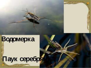 Водомерка Паук серебрянка