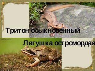 Тритон обыкновенный Лягушка остромордая