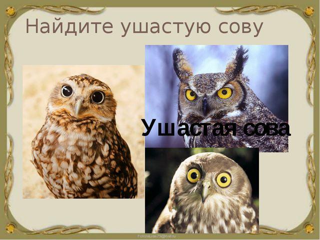 Найдите ушастую сову Ушастая сова