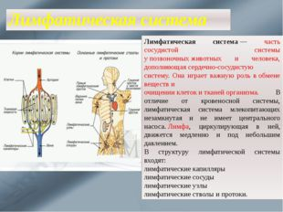 Лимфатическая система Лимфатическая система— часть сосудистой системы упозв