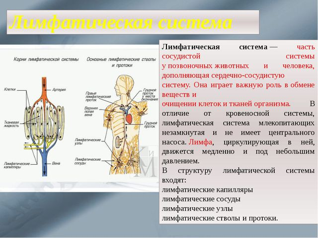 Лимфатическая система Лимфатическая система— часть сосудистой системы упозв...