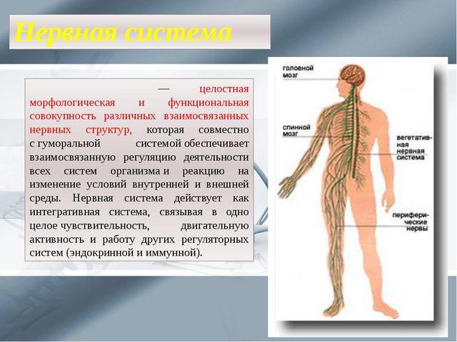 Нервная система Не́рвная систе́ма— целостная морфологическая и функциональна...