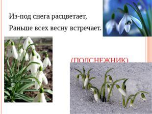 Из-под снега расцветает, Раньше всех весну встречает. (ПОДСНЕЖНИК)