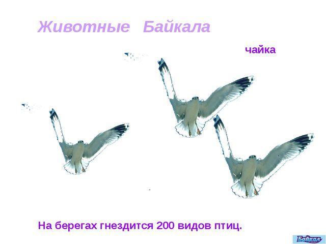 На берегах гнездится 200 видов птиц. Животные Байкала чайка