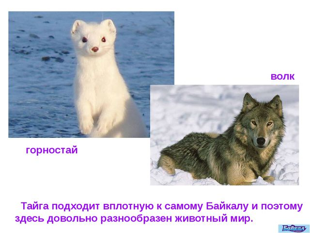 Тайга подходит вплотную к самому Байкалу и поэтому здесь довольно разнообраз...