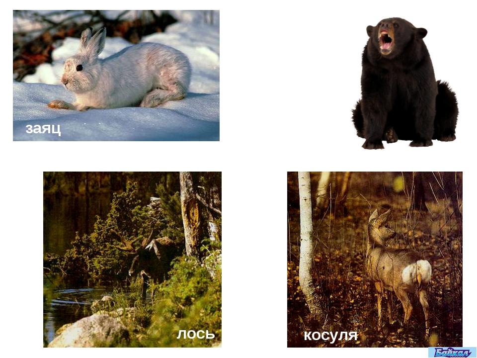 заяц медведь лось косуля
