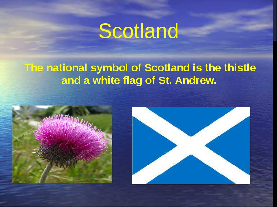 The national symbol of Scotland is the thistle and a white flag of St. Andrew...