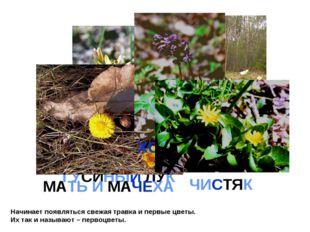 Начинает появляться свежая травка и первые цветы. Их так и называют – первоцв