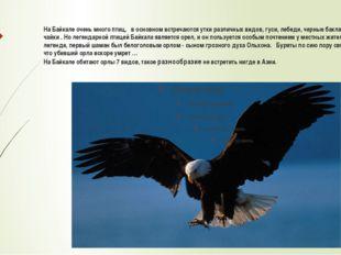 На Байкале очень много птиц, в основном встречаются утки различных видов, гус