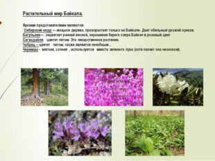 Растительный мир Байкала. Яркими представителями являются: Сибирский кедр — м