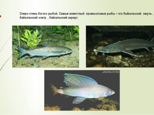 Озеро очень богато рыбой. Самые известный промысловые рыбы – это байкальский