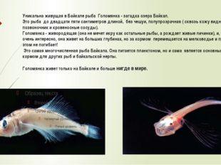 Уникальна живущая в Байкале рыба Голомянка - загадка озера Байкал. Это рыба д