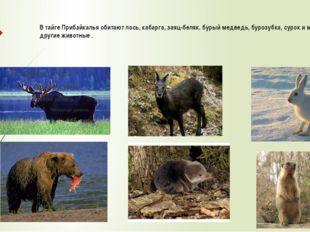 В тайге Прибайкалья обитают лось, кабарга, заяц-беляк, бурый медведь, бурозу