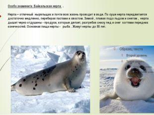 Особо знаменита Байкальская нерпа . Нерпа – отличный ныряльщик и почти всю