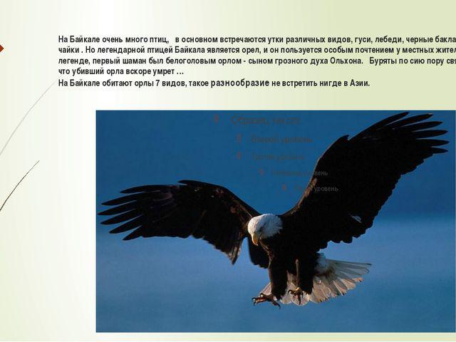 На Байкале очень много птиц, в основном встречаются утки различных видов, гус...