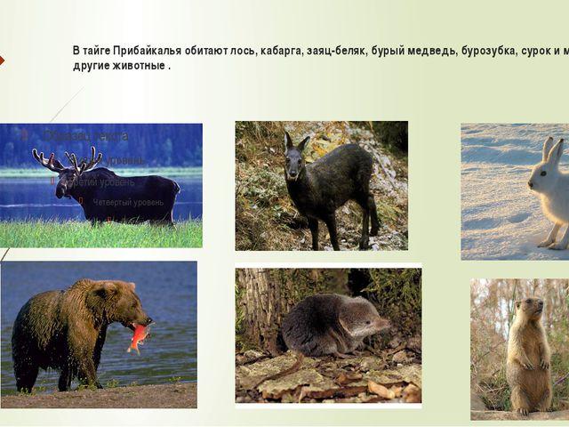 В тайге Прибайкалья обитают лось, кабарга, заяц-беляк, бурый медведь, бурозу...