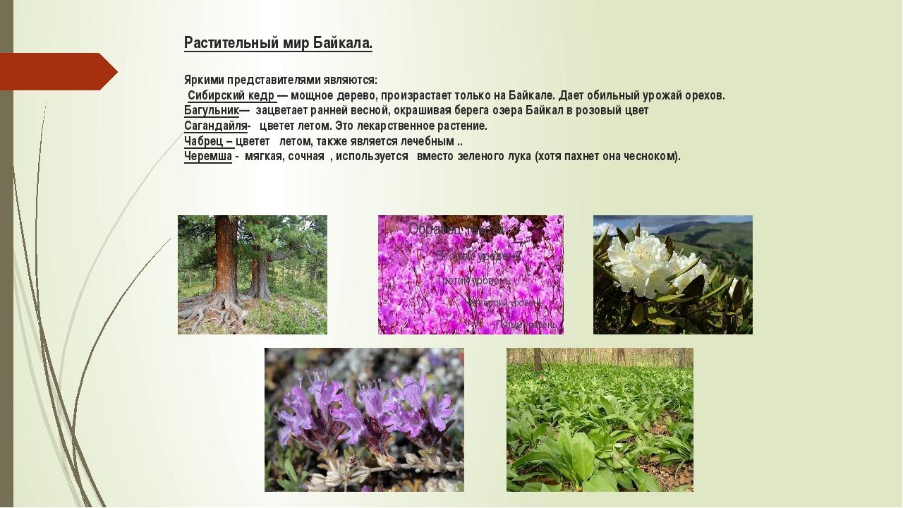 Растительный мир Байкала. Яркими представителями являются: Сибирский кедр — м...