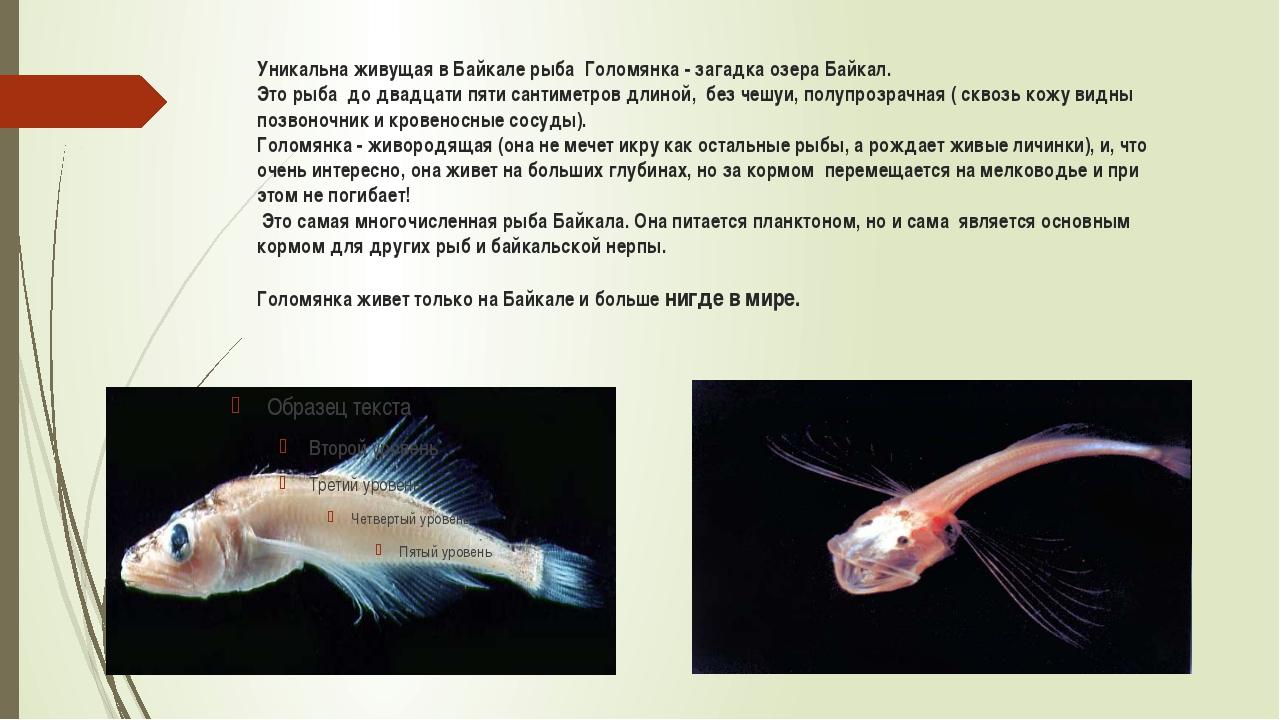 Уникальна живущая в Байкале рыба Голомянка - загадка озера Байкал. Это рыба д...
