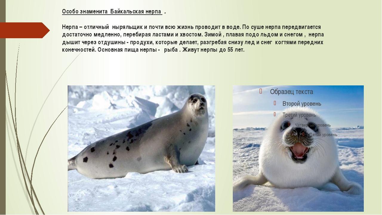 Особо знаменита Байкальская нерпа . Нерпа – отличный ныряльщик и почти всю...