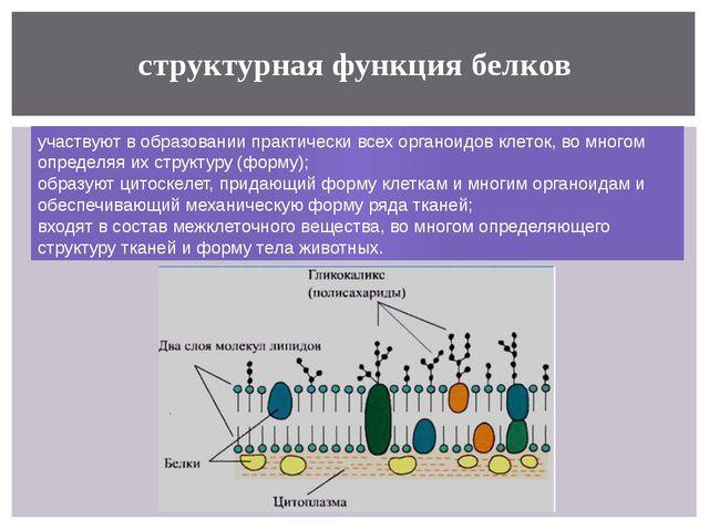 структурная функция белков участвуют в образовании практически всехорганоидо...